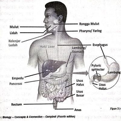 Materi Sistem Pencernaan (Rangkuman SBMPTN)
