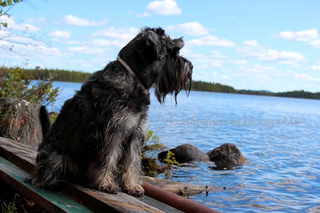 kääpiösnautseri käppänä järven rannalla pippurisuola kuusamo