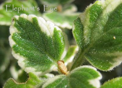 Plectranthus madagascariensis