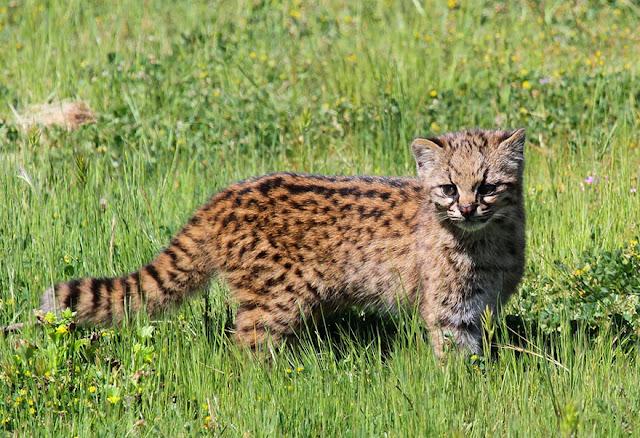 #6 Kodkod (Leopardus Guigna)