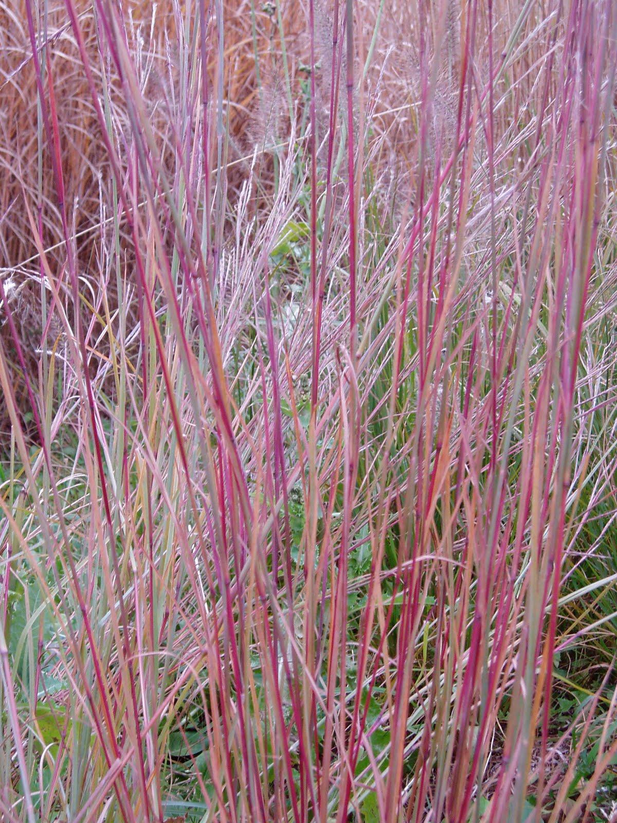 Lovegrass farm schizachyrium scoparium little bluestem for Small red ornamental grass