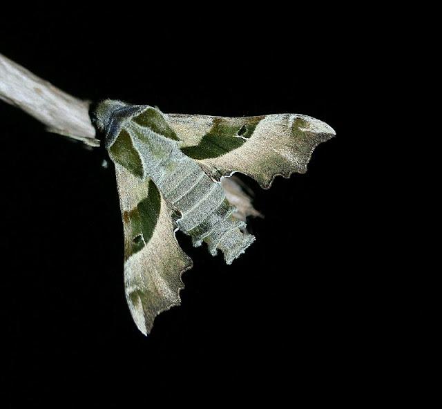 Nachtkerzenschwärmer, Proserpinus proserpina