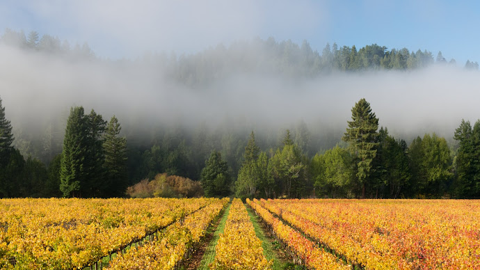 Wallpaper: Nature - Scenery Korbel vineyard