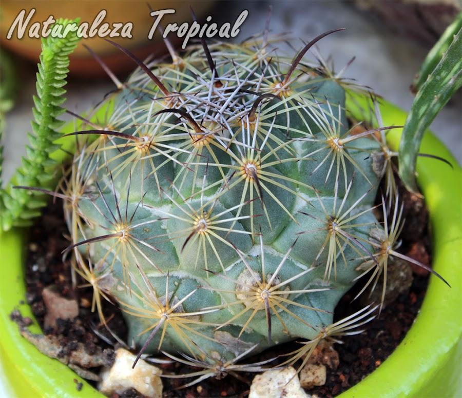 Vista de un cactus del género Coryphanta