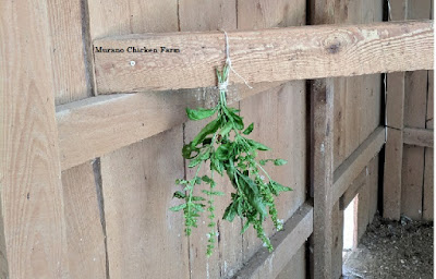 fresh herbs repelling flies in a chicken coop
