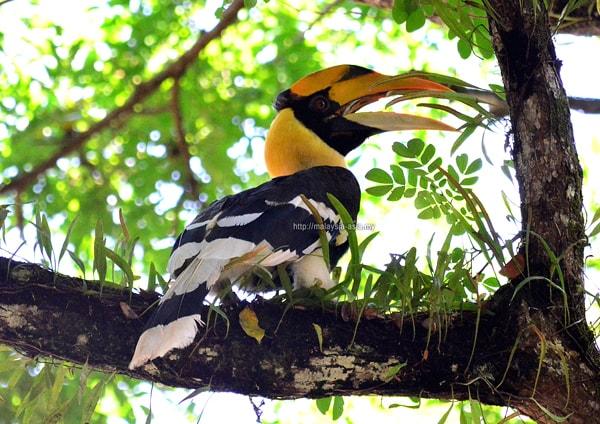 Birding Taman Negara