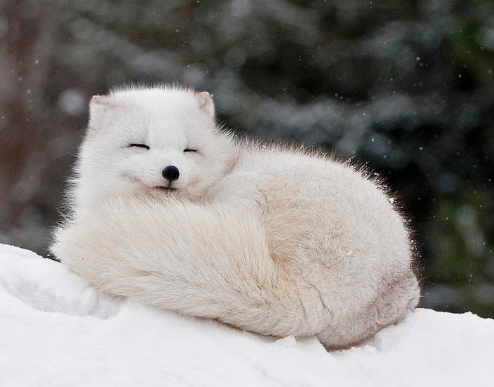 Animal You: Arctic Fox