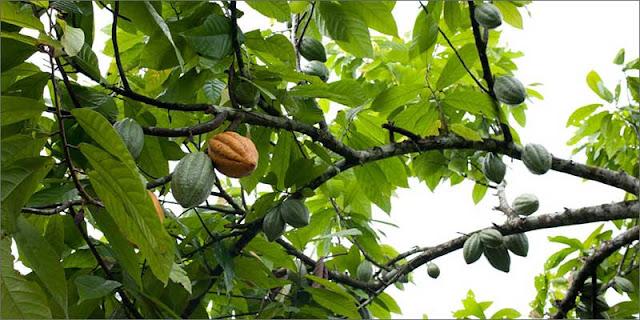 Chocolate – Theobroma cacao