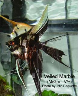 Inilah Jenis-Jenis Ikan Manfish/(Angelfish) Marble