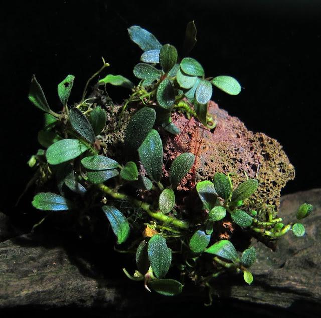 Một bụi bucep lá nhỏ được gắn lên giá thể Nham thạch