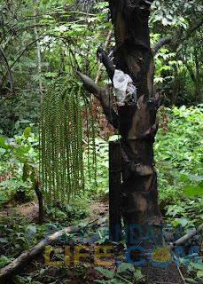 pohon gula aren