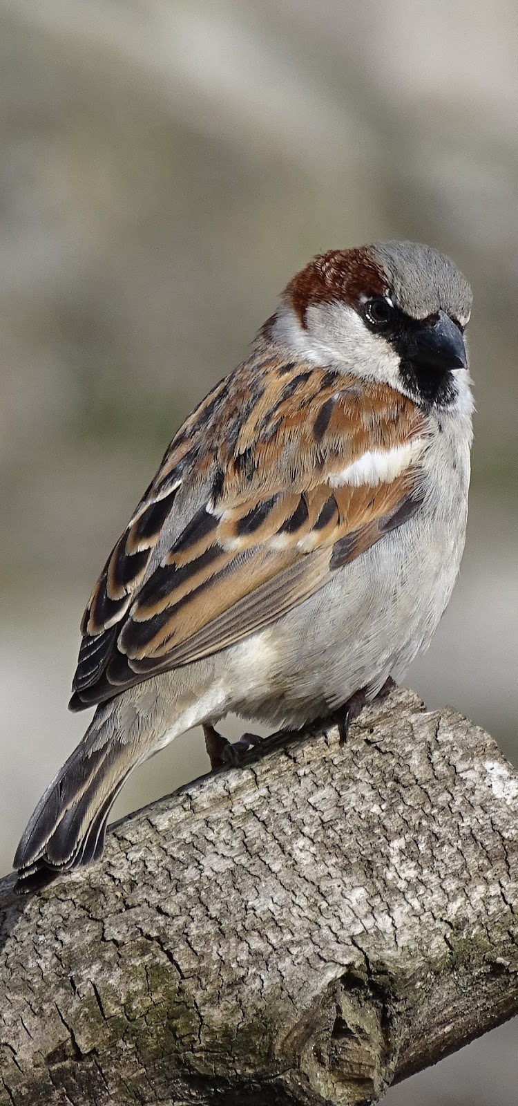 Picture of a brown sparrow.
