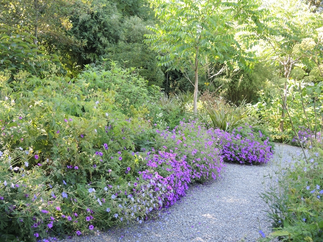 Storchschnabel Geranium in Hunting Brook Gardens