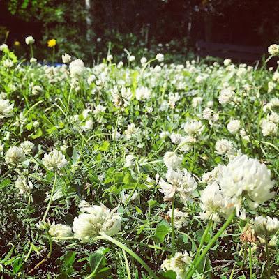 valkoisin apiloita nurmikollinen