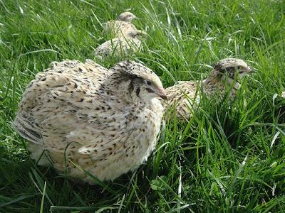 anggaran beternak puyuh, puyuh, harga puyuh, puyuh petelur, telur puyuh