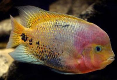 Lahirnya Louhan Kamfa dari genus Viej