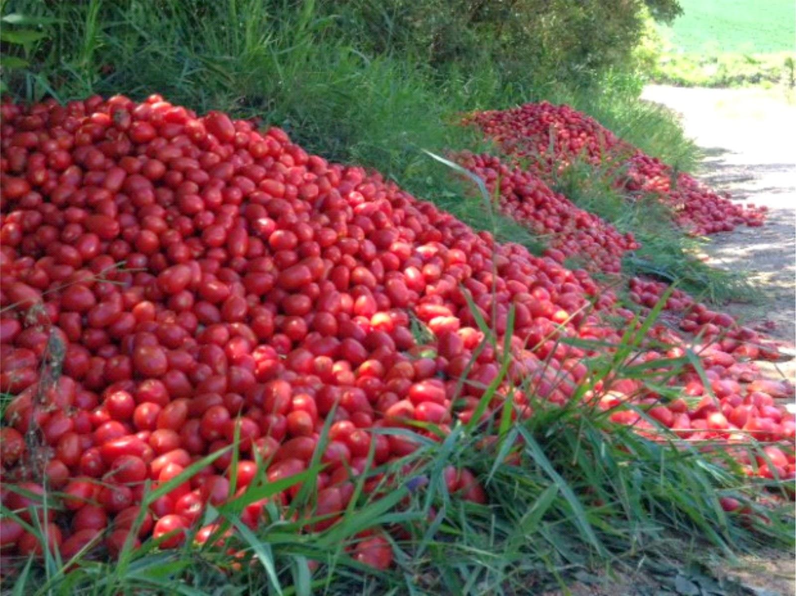 Resultado de imagem para tomates-sao-descartadas-as-margens-de-estradas