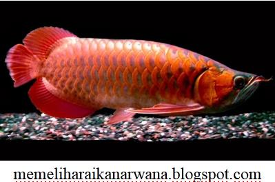 Gambar Ikan Arwana Super Red Dan Penjelasanya