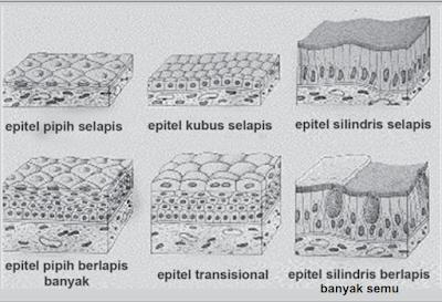 Fungsi jaringan epitel dan macam-macam jaringan epitel