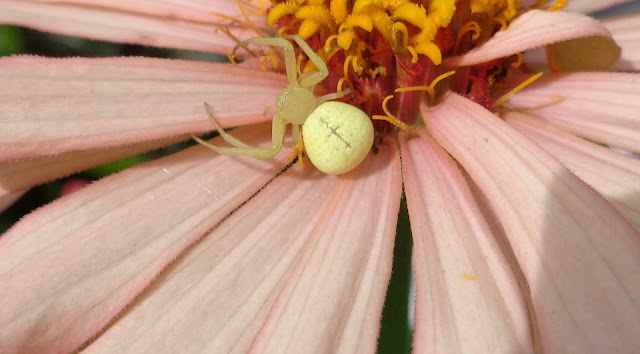 Spider on pink zinnia
