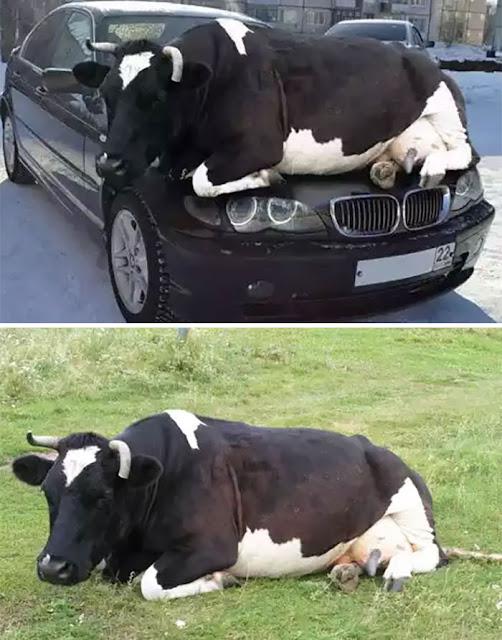 Sapi Bersantai Di Atas Mobil