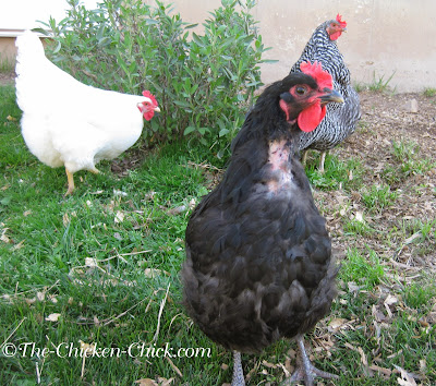 Australorp (going through a rough molt!)