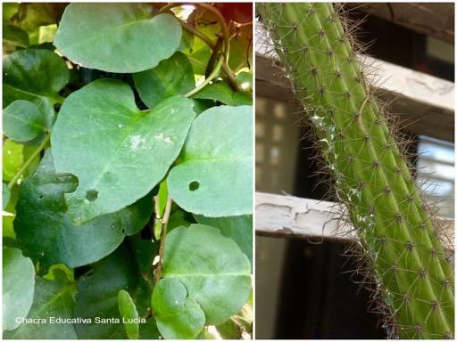 Hojas comidas por insectos y baba de caracol - Chacra Educativa Santa Lucía