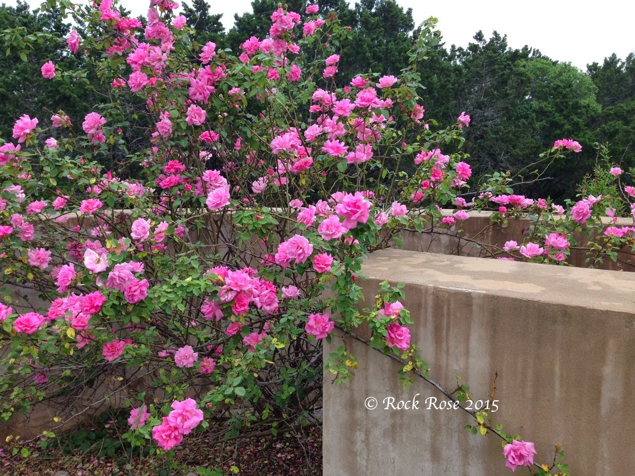 Love Garden Roses: ROCK ROSE: A PERFECT DAY FOR VISITORS