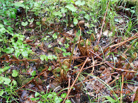 Morilles coniques, Morchella elata, dans la fougère