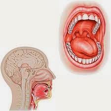 Le trajet des aliments dans l'appareil digestif. La bouche.