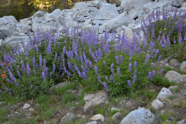 lupin with many other flowers around it