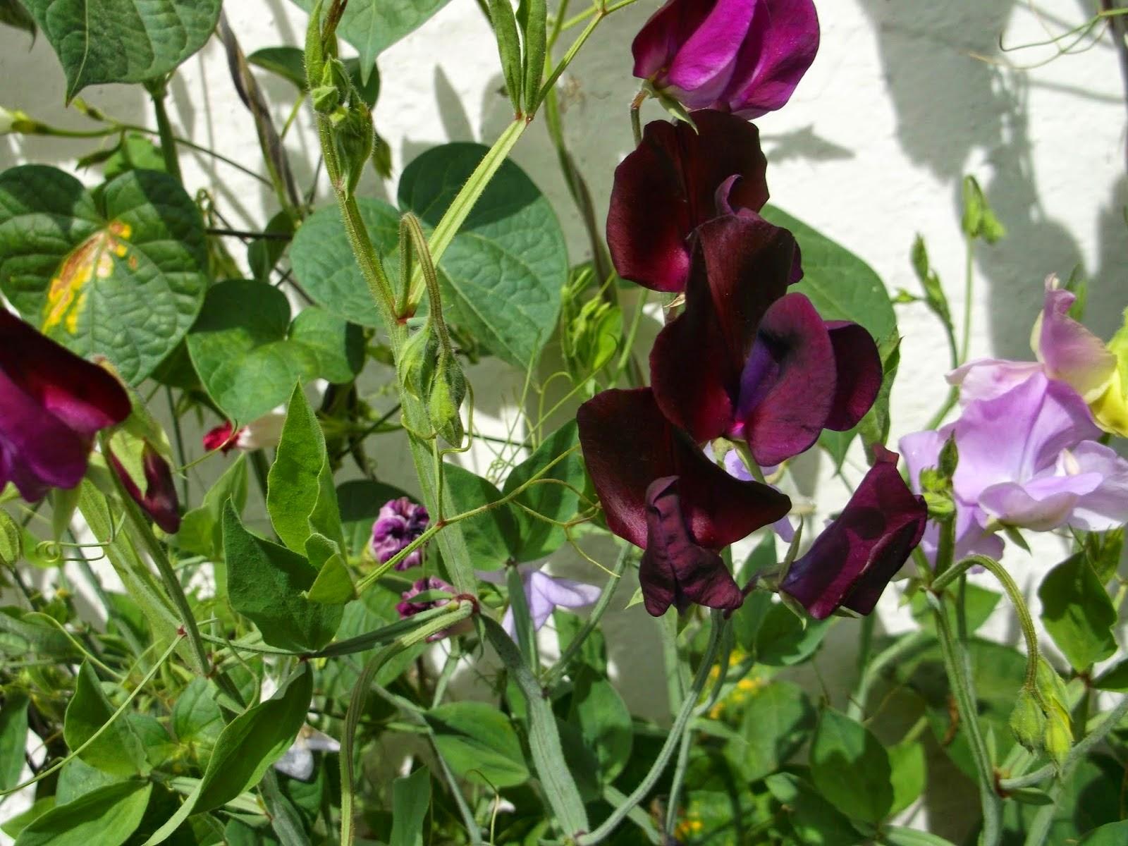 Цветок горошек фото