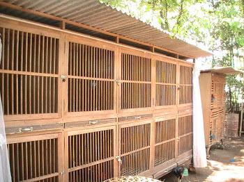 Contoh Cara Membuat Kandang untuk Ayam Bangkok yang bagus dan murah