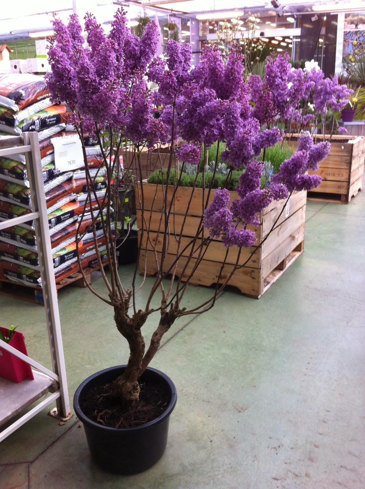 Planter Un Lilas En Pot planter un lilas en pot