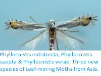 https://sciencythoughts.blogspot.com/2018/03/phyllocnistis-indistincta-phyllocnistis.html
