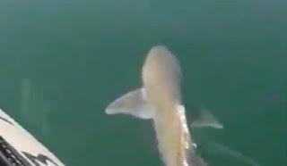 Καρχαρίας βγήκε στα ρηχά σε παραλία των Χανίων! Βίντεο