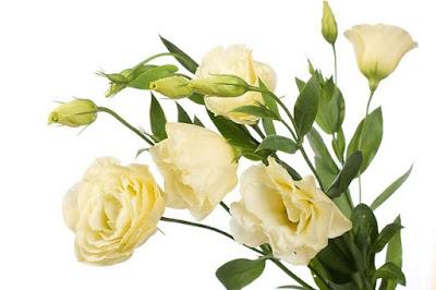 http://budujesz.info//pliki/image/artykuly/kwiaty-doniczkowe/duze/eustoma-kremowa2273.jpg