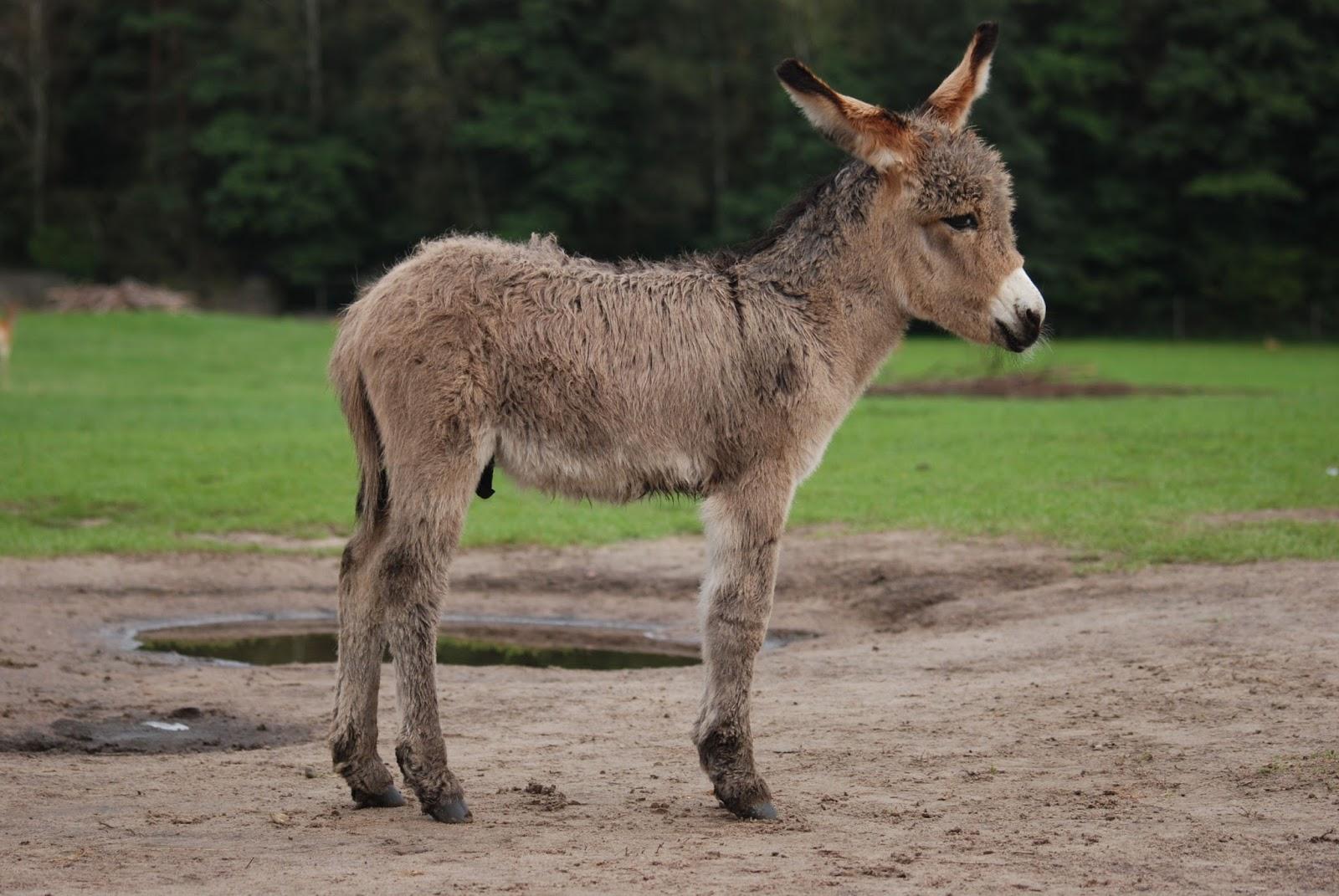 Mammals Animals: Equus asinus Kadzidlowo