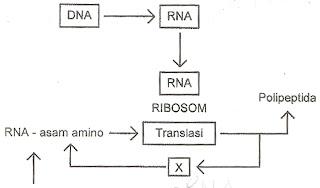 Biologi gonzaga kisi biologi sma ujian nasional 2013 diagram langkah sintesis protein ccuart Images