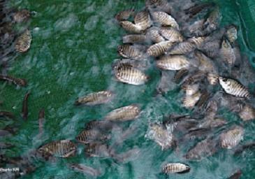 cara budidaya ikan,gurame di kolam tembok,kolam terpal,pendederan dan pembesaran ikan gurami,gurame di aquarium,makalah,gurame download,kolam tanah,