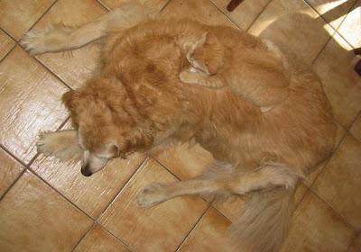 Gato camuflado con perro