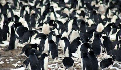 Super-Koloni Baru Penguin Ditemukan Di Antartika