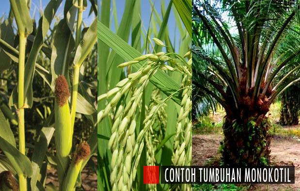 tumbuhan: 10 macam contoh tumbuhan dikotil dan monokotil