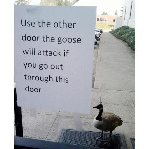 The   attack goose   c...