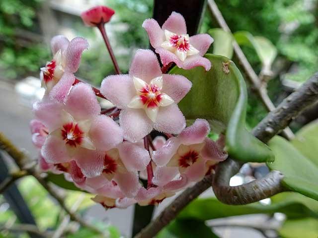 Flor de Clepia tomada de costado.