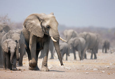 Manada de elefantes en la sabana de África - Elephants - Paquidermos