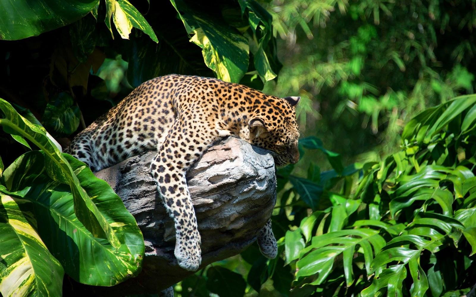 Fondo De Pantalla De Leopardo Fondos De Pantalla Gratis: Fondos HD Wallpapers: Fondo De Pantalla Animales Leopardo