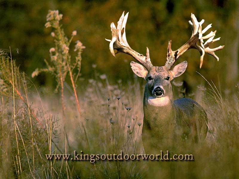 Where is wallpaper deer pictures - Free deer hunting screensavers ...
