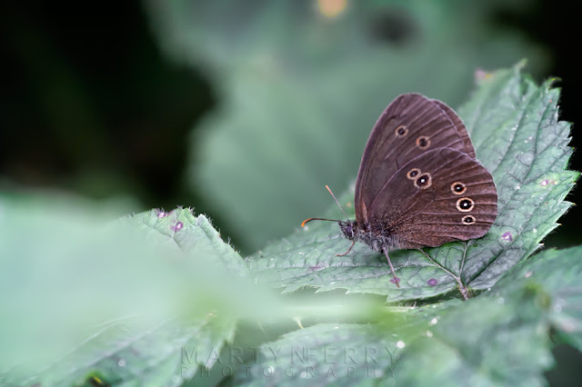 Close up of a ringlet butterfly in the nature reserve of Holme Fen