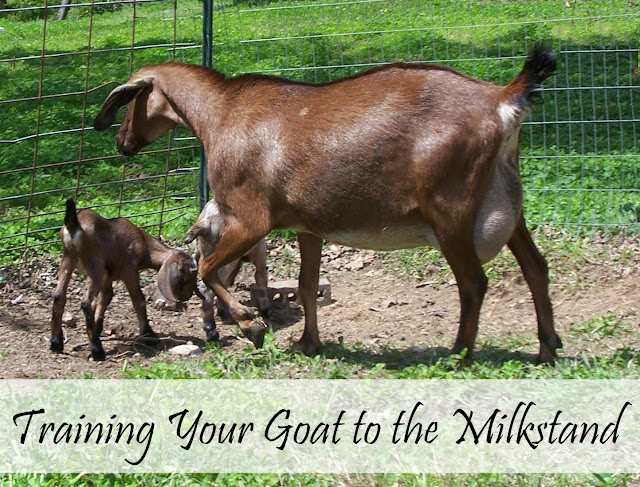 Training a problem doe to the milkstand is mostly a matter of attitude: your attitude! Here are tips to help you train your goat to be a milker.